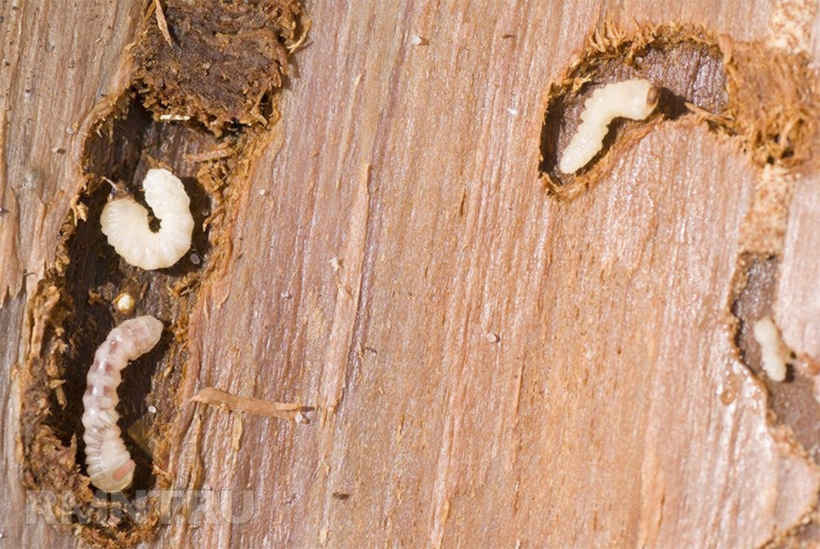 Личинки в гнилой древесине