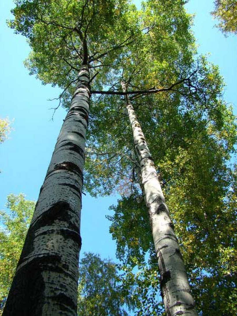 осина в лесу